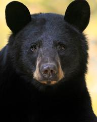 Windows To The Soul (Megan Lorenz) Tags: blackbear bear animal mammal sow female nature wildlife wild wildanimals ontario canada mlorenz meganlorenz
