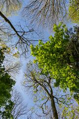 treetops (babs pix) Tags: trees treetops horse chestnut ynysmaengwyn woodland spring