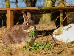 IMG_8369.jpg (land_der_tiere) Tags: kaninchen rabbit rabbits bunny bunnies cony conys lapin lapins hoppeln scuttle scamper lollop schnüffeln snooping schnurrhaare schnurrbart whisker vibrisse puschel tuft paw foot pfote pfötchen land der tiere lebenshof animals sanctuary freiheit artgerecht tierschutz tierrecht tierbefreiung tiernothilfe stiftung tierrettung artenschutz rights liberation animal tier tierschutzzentrum mecklenburgvorpommern banzin vellahn hamburg ludwigslust biosphärenreservat schalsee unversehrt selbstbestimmt selbstbestimmung unversehrtheit