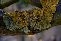 Lichen growing on the old pear tree (Desperate John) Tags: lichen pear tree nature bark garden