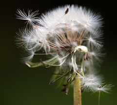 it's day 117 (just *gill) Tags: 117365 dandelion seeds time
