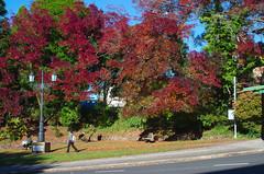 Autumnal (Occasionally Focused) Tags: autumn leaves red trees pentax k30 justpentax singleinapril2017 smcpdal35mmf24al manualexposure darktable