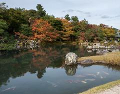 Huge Koi Carp in Kyoto (Jez B) Tags: japan kyoto koi carp huge fish pond lake reflection trees autumn red russet brown leaves rock japankyoto