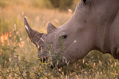 Namibia 2017 (Marianne Zumbrunn) Tags: namibia2017 namibia 2017 nikon d610 nikond610 nikon300mmf4pf gocheganas safari light sun evening color colour rhino nashorn