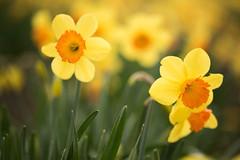 I've Got Sunshine on a Cloudy Day (Stephanie Sinclair) Tags: nikond810 pnw daffodils flowers nikon seattleempress skagit spring springtime stephaniesinclairphotography yellow zeiss