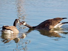 Goose games. (piranhabros) Tags: deltaponds tongue swimming water bird canadageese geese