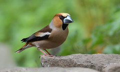 Hawfinch, Forest of Dean (KHR Images) Tags: hawfinch coccothraustescoccothraustes finch largestukfinch rare fringillidae wild bird nature wildlife forestofdean gloucestershire nikon d500 kevinrobson khrimages