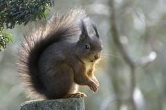 Eichhörnchen, Squirrel, Écureuil (Stefanie Heilein) Tags: écureuil squirrel wildlife eichhörnchen