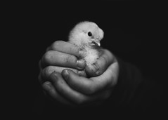 95  365 (trois petits oiseaux) Tags: 365 texture chicken chick easter baby childhood farm hands