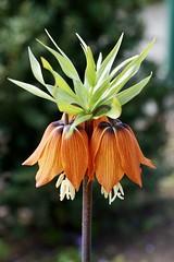 Kaiserkrone Fritillaria imperialis 'Rubra Maxima' (Meine Sicht auf diese Welt...) Tags: fritillaria imperialis rubra maxima kaiserkrone blume krone kaiser rot gelb grün sony