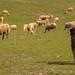 Guardant el ramat | Keeping the herd