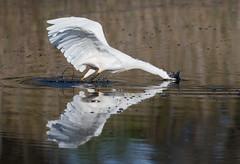 Splonk (christinaportphotography) Tags: littleegret egret egrettagarzetta chittawaypt centralcoast nsw australia bird birds wild free splonk fishing white brown