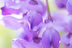 紫藤花 (Jill-Wang) Tags: wisteria flower purple bokeh 100mm macro fujifilm xpro1 sunlight