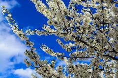 Spring is Everywhere (Yannis_K) Tags: spring blueskies flowers tree inbloom yannisk nikond7100 nikon35mmf18dx