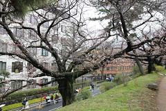 IMG_3271 (digitalbear) Tags: sophia university jochidaigaku yotsuya tokyo japan sakura cherry blossom kiminonawa your name yourname suga shrine jinja movie animation
