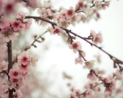 plum tree (L. Grainne) Tags: plumblossoms cherryblossoms springflowers pink trees california lupengrainne