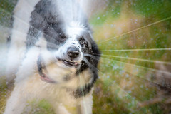 12/52 'It's all about the nose' (JJFET) Tags: 1252 weeks for dogs elk border collie dog sheepdog