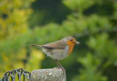 The early bird catches... (Matt C68) Tags: birds bird garden songbird robin worms grubs larvae feeding feed food erithacus rubecula red breast redbreast