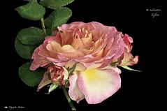 i colori della natura. (Salvatore Lo Faro) Tags: flower nature fiore natura rosa rosso verde salvatore lofaro orticola nikon d300