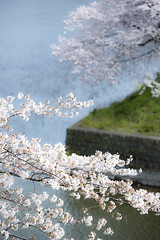SAKURA (20EURO) Tags: spring flower cherryblossoms bright warm sunlight season change nature landscape pink blossoms cherry boat fun pond weekend holiday 桜 beautiful photograph 春 千鳥ヶ淵 池 堀 公園 花見 water wind canoneos5dmarkⅲ watersurface tokyo japan 日本 東京 皇居