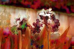 Lirios impresionistas (seguicollar) Tags: lirios flor flowers rojo verde red impresionistas impresionismo imagencreativa photomanipulación art arte artecreativo artedigital virginiaseguí plantas vegetal