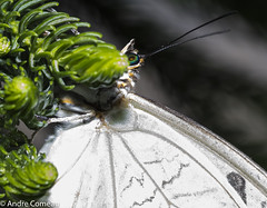 Hding place (branchu) Tags: whit butterfly insect bug nacro micro wildlife botanic