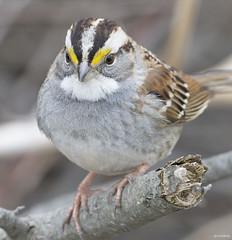 White-Throated Sparrow (swmartz) Tags: nikon nature newjersey birds assupink wildlife sparrow