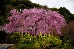 Big Tree (tez-guitar) Tags: sakura cherryblossom cherry blossoms bloom spring flower weeping kyoto temple architect pentax pentaxart
