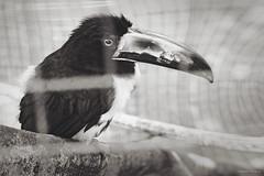 Un bello ejemplar en una jaula (Honduras (504)) Tags: whiteandblack retratoanimal retratodeaves imágenescatrachas americacentral fotomaxhonduras honduras latinoamerica centroamerica canoneos70d blackwhite blancoynegro aves