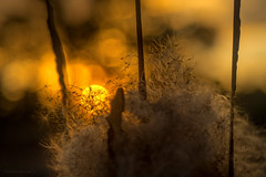 ready to fly (gnarlydog) Tags: refittedlens adaptedlens helios89frommikron russianlens bokeh sunset seeds grass nature bubbles contrejour backlit australia abstract halfframe orange colorful manualfocus fuzzy softlight