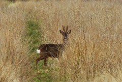 Through the grasses..x (Lisa@Lethen) Tags: roe deer reeds grass field wildlife nature velvet antlers scotland