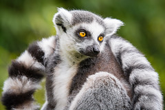 Ring-Tailed Lemur (Mathias Appel) Tags: grã¼n ring tailed lemur catta katta zoo tierpart tier animal animals feet hands hände füse eyes augen fur fell bokeh nikon d7000 madagaskar madagascar tree baum cute adorable niedlich süs world festival lèmur de cua anellada lémur cola anillada ワオキツネザル sitting baby babies infant kind kinder iucn red list endangered 호랑이꼬리여우원숭이 maki lemuridae strepsirrhini natur natural nature tierpark d7100