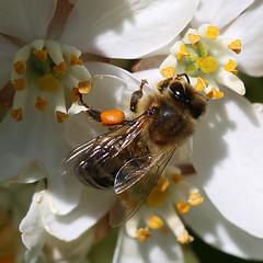 (jc.dazat) Tags: abeille bee fleur flower nature extérieur macro photo photographe photographie photography canon jcdazat