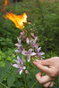 Ясенец белый (лат. Dictamnus albus)