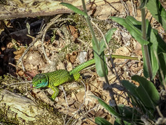 Sensing tool (Lanceflot) Tags: western green lezard france ain bugey moutains countryside landscape ground crawl leaves reptile blue colorful tongue defense hunting wildlife nature animal lacerta bilineata macro grass outdoor plant