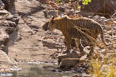 1165 Day 7 Tigers (brads-photography) Tags: india nationalpark pantheratigristigris rajasthan ranthambore reflection royalbengaltiger sawaimadhopur sideon standing tiger tigerreserve walking water waterhole wildlife