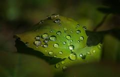 Morning Dew (BernieErnieJr) Tags: chautauquaparkboulderco colorado nature frontrange greatphotographers teamsony rockymountains sony70400mmg2 sonya77mkii morning sunlight sunshine boulder bouldercounty bernie duhamel