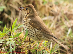 Song Thrush (Emsey!) Tags: animal nature wildlife outdoors songthrush canon canon7dii 7dii parcslip naturereserve