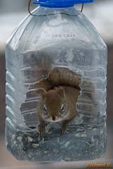 Écureuil dans un contenant en plastique  01352 (rivai56) Tags: écureuil dans un contenant en plastique squirrel plastic container sonyphotographing