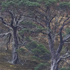 Look Who's Back! (prajpix) Tags: rhidorroch rosshire highlands scotland osprey bird prey raptor nest tree pine caledonian nature ullapool