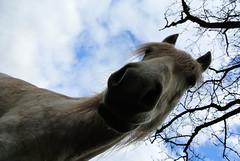 huhu (Katrin Will) Tags: pferd horse kaltblut polnischeskaltblut himmel baum tree äste