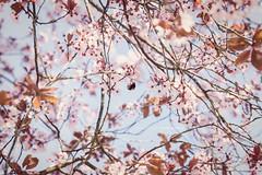 (CarolienCadoni..) Tags: sonyslta99 sony bee blossom bokeh dof pink tree sun stadskanaal groningen nederland netherlands 70200mmf28gssmii