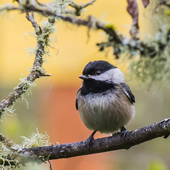 Watching out. (Omygodtom) Tags: outdoors wild wildlife chickadee bokeh trail branch nikon nature natural bird handsom star detail april digital nikkor nikon70300mmvrlens d7100 catwa couple bright golden