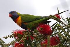 Rainbow lorrikeet (J-C-M) Tags: rainbow lorrikeet bird parrot melbourne australia