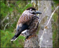 Sibirian Nutcracker / Sibirisk nötkråka (HJsfoto) Tags: nutcracker sibirisknötkråka bird fåglar norrbotten boden