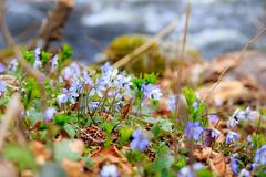Vårkänslor (Anders Bromell) Tags: fs170416 varkanslor fotosondag