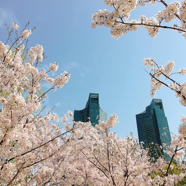 首爾 ▪ 首爾林 서울숲 浪漫滿開的櫻花林道