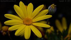 Easter Sunshine (Ollie_57.. on/off) Tags: flower bloom plant shrub flora petals nature dof bokeh bud macro tamronsp90mm canon 7d yellow spring apr 2017 shaldon devon westcountry england uk affinityphoto ollie57 ngc npc