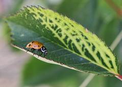 106/365 The Race Is On (Helen Orozco) Tags: ladybird ladybug canonrebelsl1 one