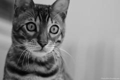 Curios Bengal Kitten (hayleykathleenjones) Tags: kitten cute bengal cat playful monochrome black white closeup
